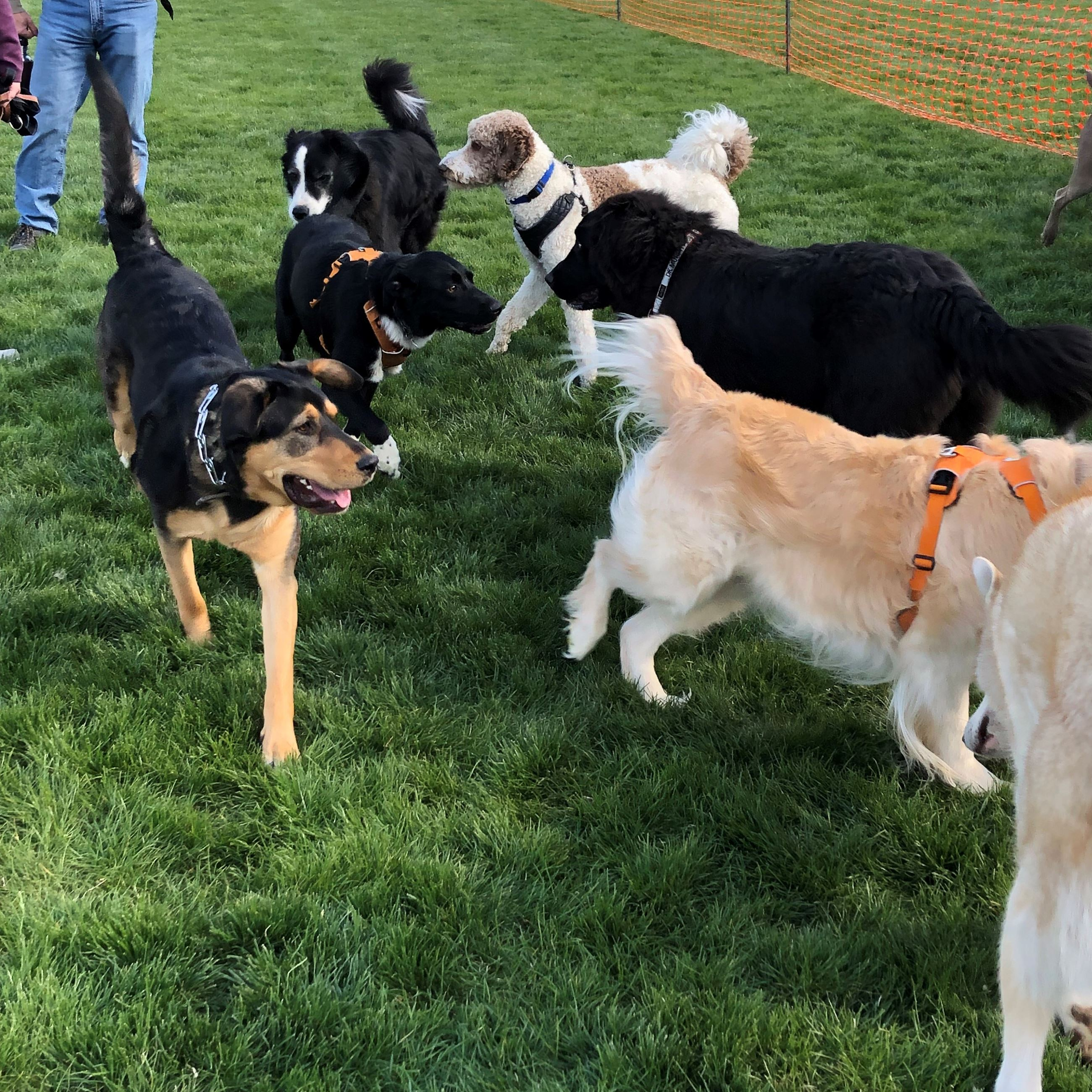 Dogs playing at Yappy Hour